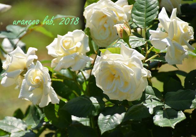 5月9日薔薇3