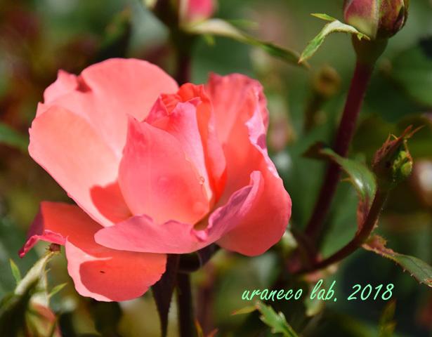 5月9日薔薇