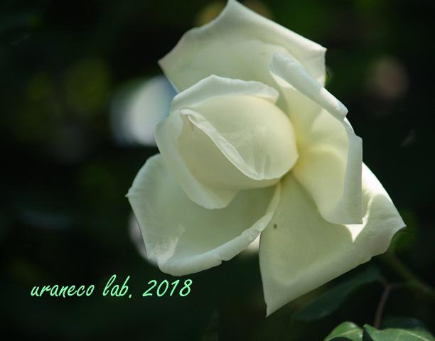 5月14日薔薇7