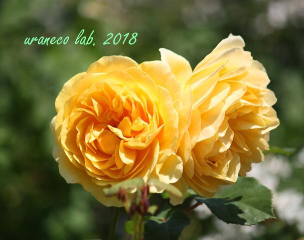 5月14日薔薇8