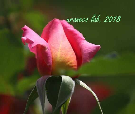 5月14日薔薇6