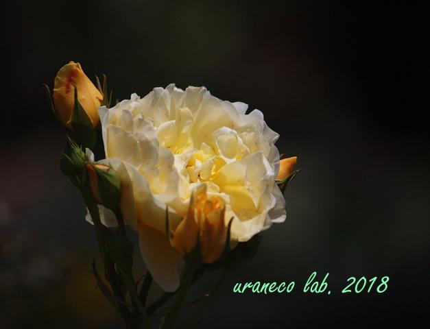 5月14日薔薇4