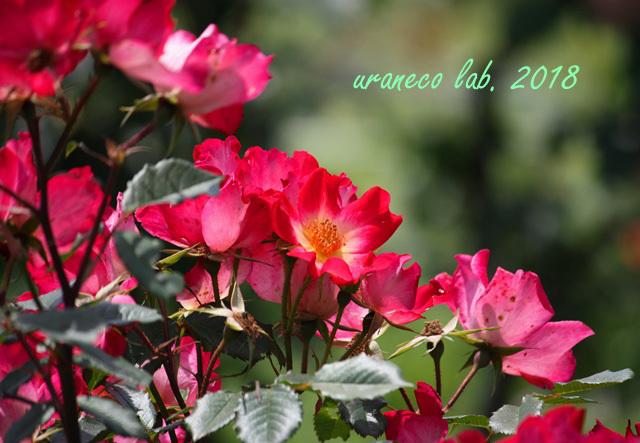 5月14日薔薇5
