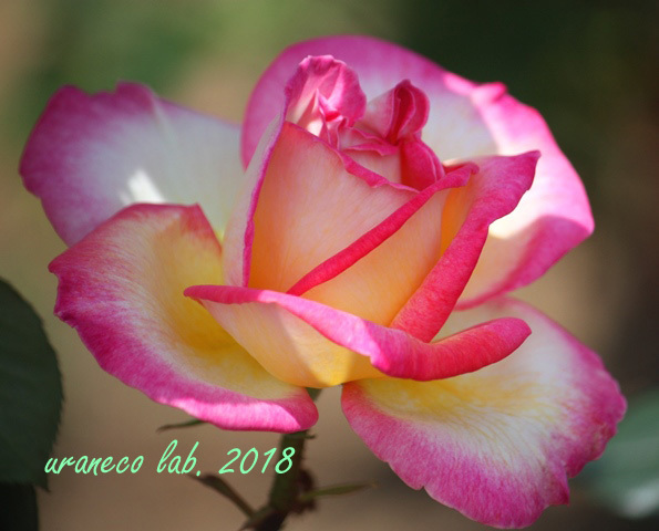 5月14日薔薇3