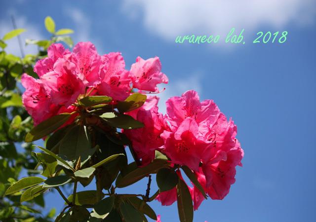 5月14日西洋石楠花3