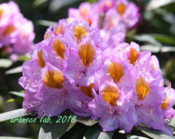 5月14日西洋石楠花