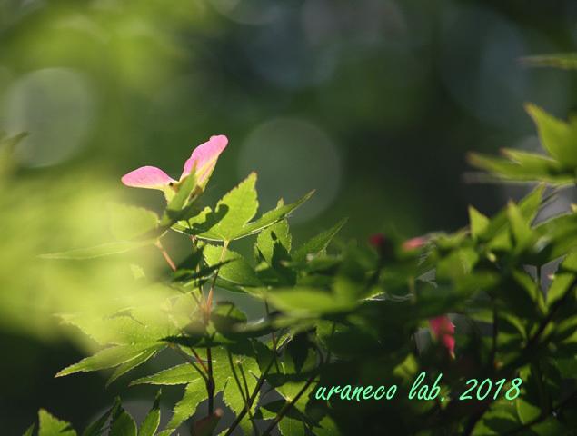 5月18日モミジの花