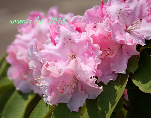5月14日西洋石楠花2