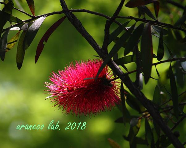 5月14日ブラシの木