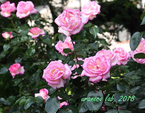 5月18日薔薇6