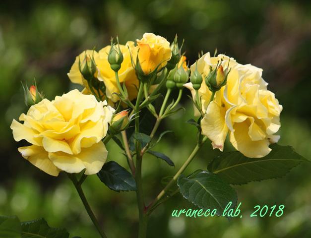 5月18日薔薇5