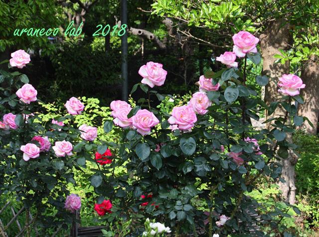 5月18日薔薇4
