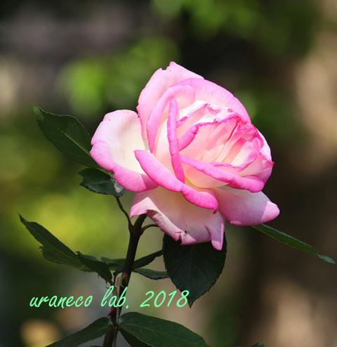 5月18日薔薇3
