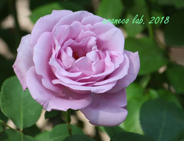 5月18日薔薇2