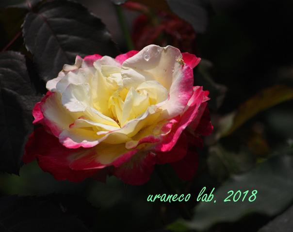 5月18日薔薇