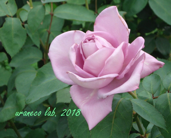 5月18日薔薇9