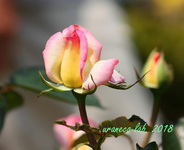 5月18日薔薇8