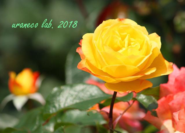 5月18日薔薇7