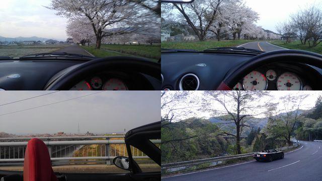 桜の下を走る2018
