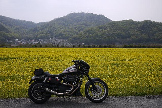 s-11:28菜の花畑