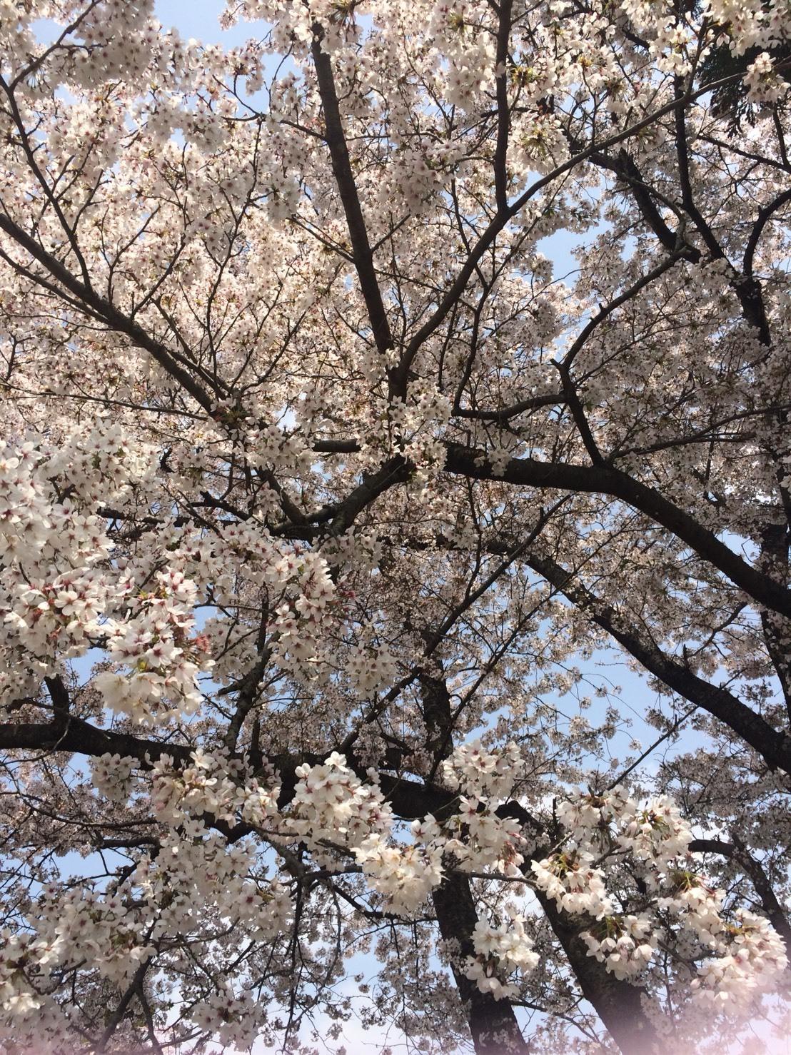 S__30580744桜