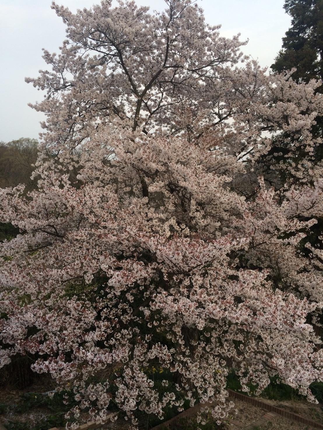 S__30580745桜