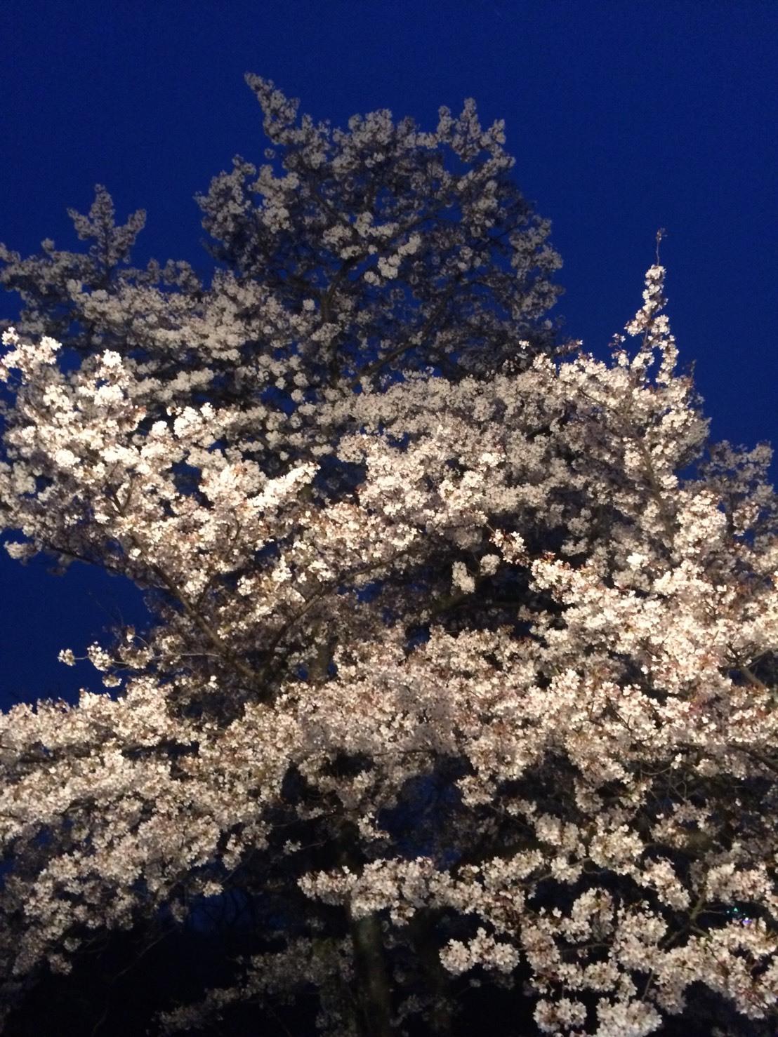 S__30580746桜