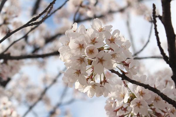 桜は5分咲きだそうです