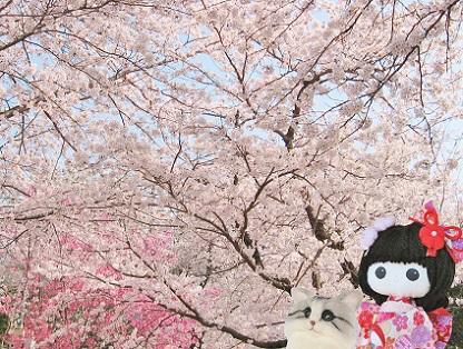 桜いっぱい