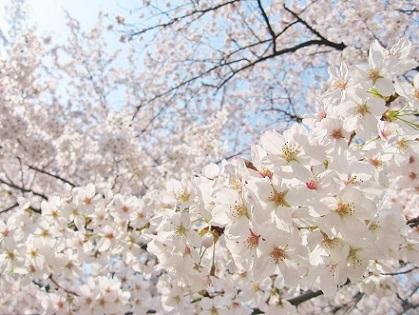 青空に広がる桜です