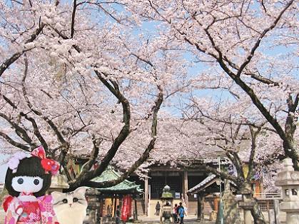 桜の本堂 綺麗です