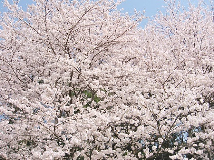 たわわな桜です