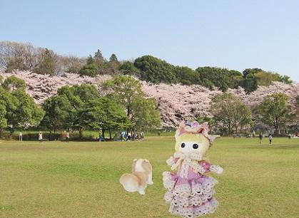 広々桜の公園です