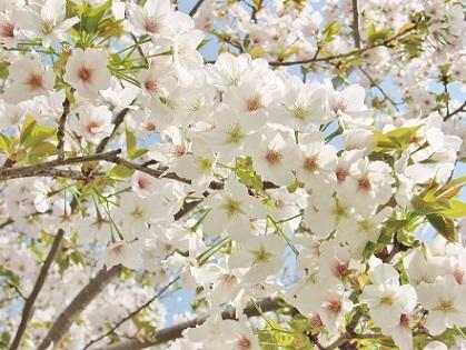 山桜さんです