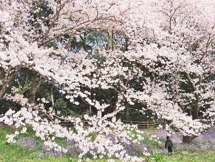 桜の中に小学生です