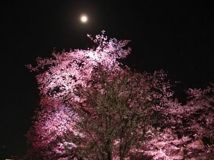 月夜のピンクの桜