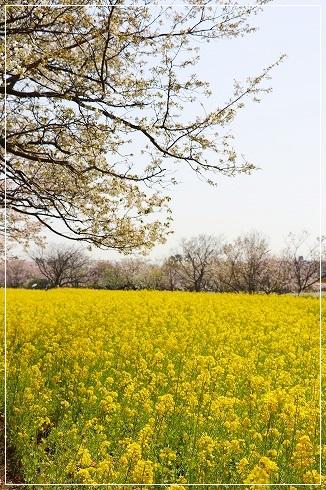 菜の花と桜~@海中