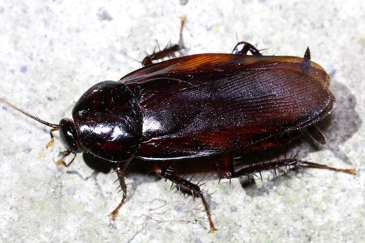 ゴキブリは人間の10倍の速さで走る?-小さな体で秒速1.5m、ゴキブリはスゴい!