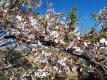 葉桜になりかけたサクラ