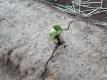 モロッコインゲンの芽