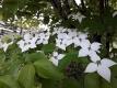 白くなったヤマボウシの花