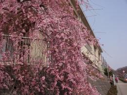 学びの館枝垂れ桜