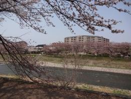 桜まつりは中止となりました医王の森公園の桜