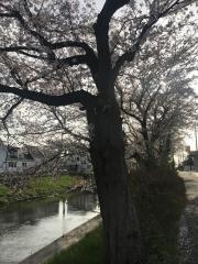 忍川のさくら 2018