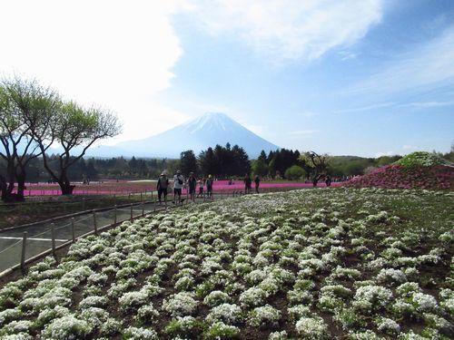 富士芝桜7
