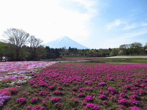 富士芝桜21