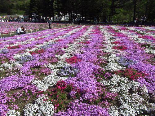 富士芝桜23