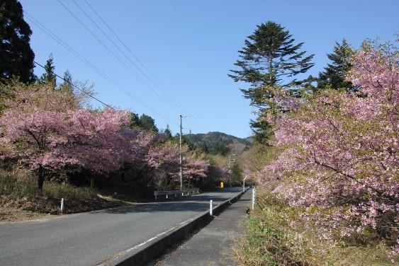 沿道の桜並木