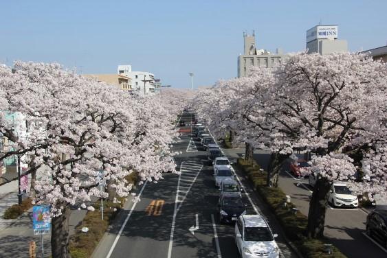 四面歩道橋からの桜