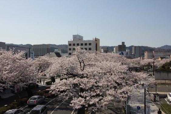 平和通り桜並木